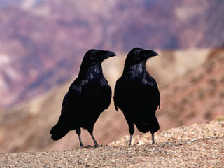 a pair of ravens
