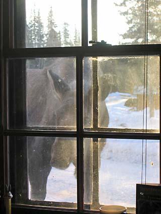 moose in the window