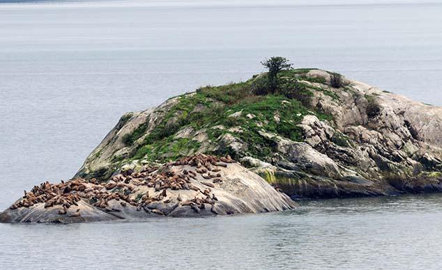sea lions glacier bay