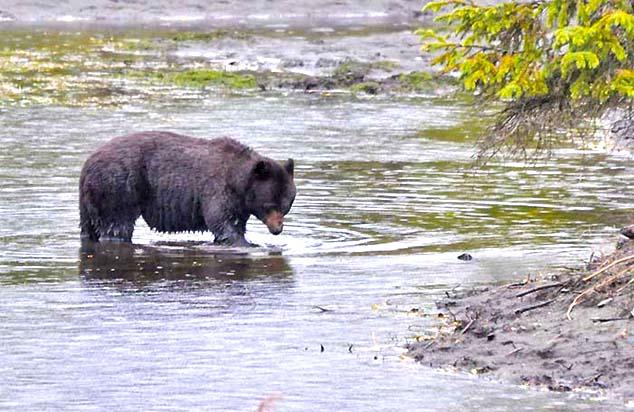american black bear juneau alaska