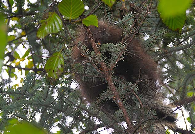 porcupine juneau alaska