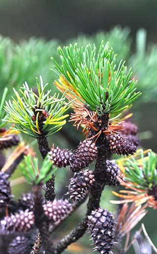 pine cones skagway alaska