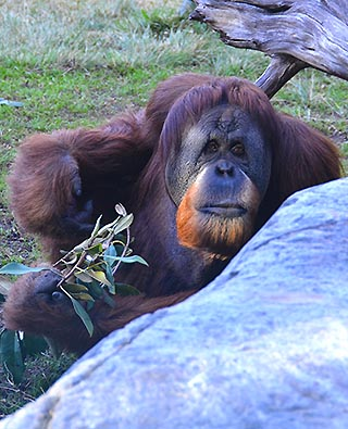 oranutan san diego zoo