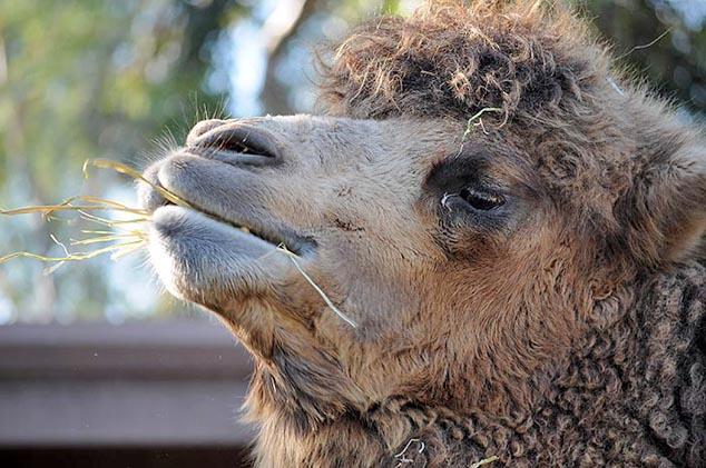 camel san diego zoo