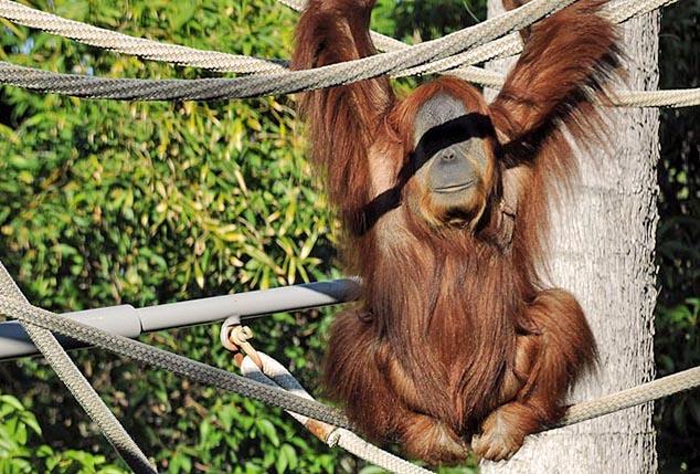 orangutan dan diego zoo