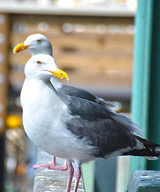 sea gulls san francisco