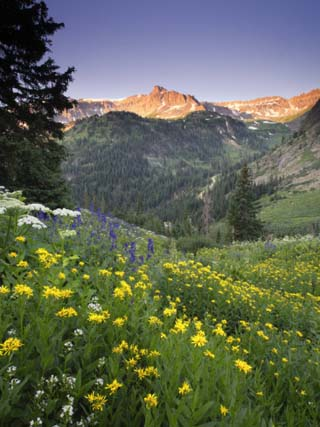 Wildflowers in an Alpine Meadow in Yankee Boy Basin