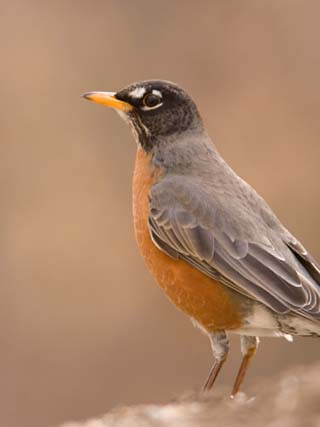 An American Robin (Turdus Migratorius) in Lincoln, Nebraska