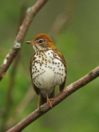 Wood Thrush, Hylocichla Mustelina, Eastern North America