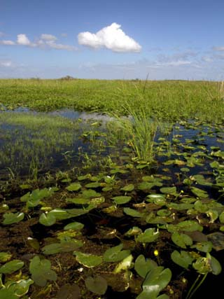 Water Lilies and Sawgrass in the Florida Everglades, Florida, USA