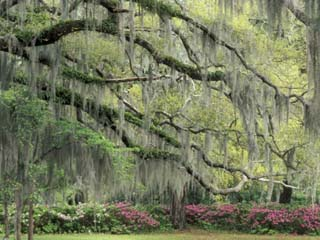 Live Oak Tree Draped with Spanish Moss, Savannah, Georgia, USA