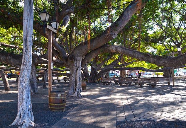 banyon tree lahaina hawaii