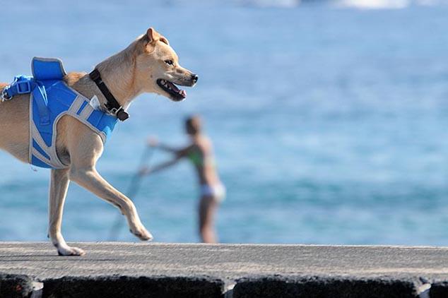 surfing dog hawaii