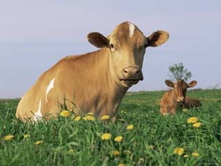Guernsey Cows, at Rest in Field, Illinois, USA