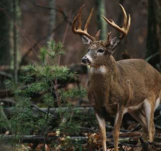 white tailed deer, illinois state animal