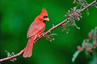 red cardinal, illinois state bird