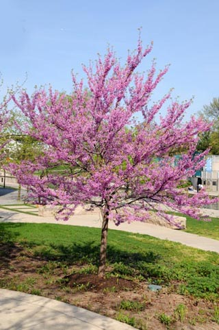 Eastern Redbud tree