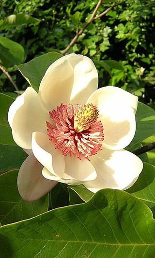 magnolia, louisiana state flower