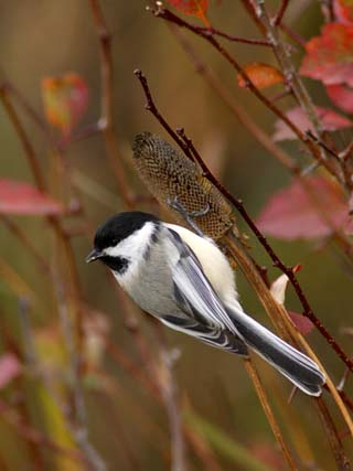 Black Capped Chickadee, Eating Flower Seeds, Grand Teton National Park, Wyoming, USA