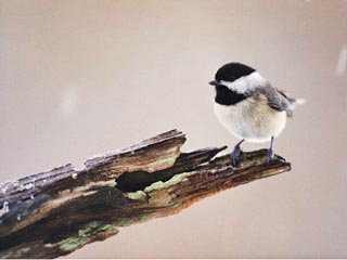 chickadee, maine state bird