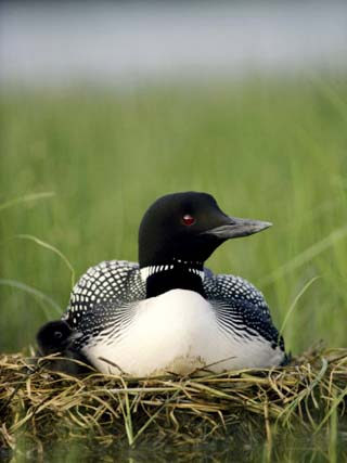 Common Loon and its Day-Old Chick