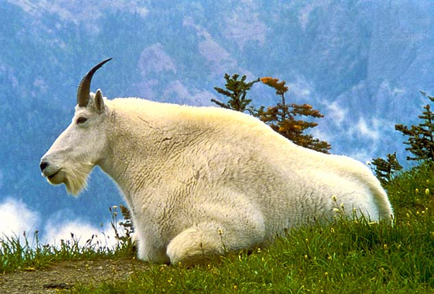 mountain goat montana