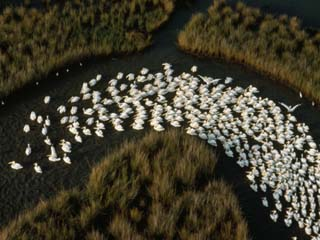 A Flotilla of White Pelicans in a Mississippi Delta Salt Marsh