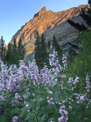Moutain Peak and Flowers at Sunrise, Glacier National Park, Montana