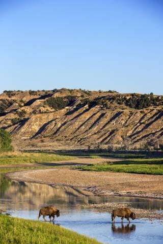 Bison Wildlife Crossing Little Missouri River, Theodore Roosevelt National Park, North Dakota, USA