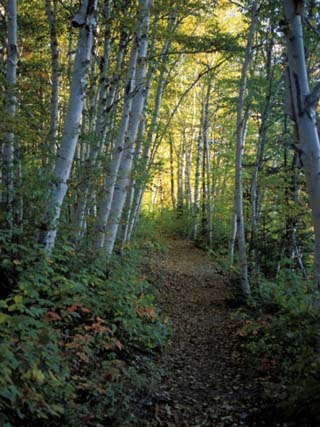 White Birch and Yellow Leaves in the White Mountains, New Hampshire, USA