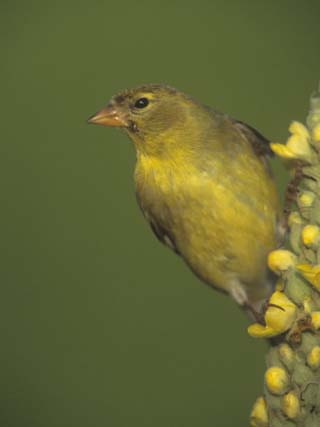 Female American Goldfinch, Carduelis Tristis, . Eastern USA