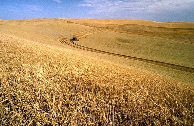 field of wheat north dakota