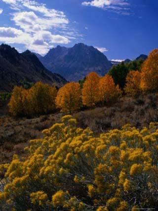 Rabbit Brush and Aspen Stands in Autumn, June Lake Loop, Eastern Sierra Nevada