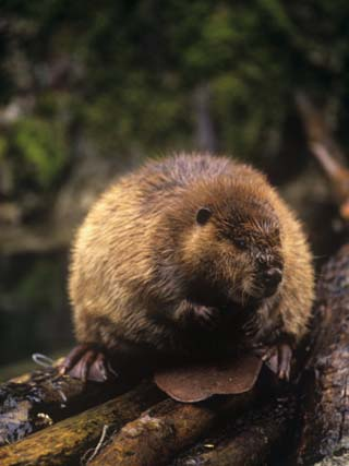Beaver on Land Near a Pond (Castor Canadensis), North America