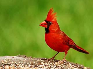 cardinal, ohio state bird