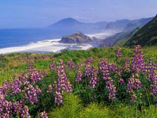 Lupine Flowers and Rugged Coastline along Southern Oregon, USA
