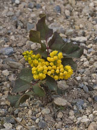 Creeping Oregon Grape (Berberis Aquifolium Repens) Great Basin National Park, Nevada