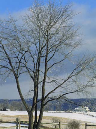 The Frozen Branches of a Tree Sparkle in the Sunlight, Waynesboro, Pennsylvania