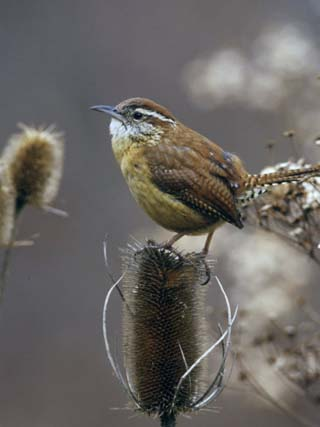 Carolina Wren (Thryothorus Ludovicianus) on Teasel, South Carolina State Bird. USA
