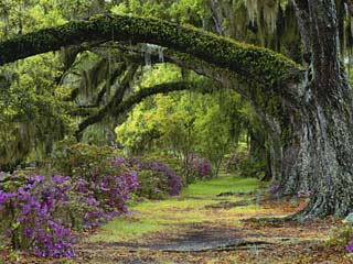 Coast Live Oaks and Azaleas Blossom, Magnolia Plantation, Charleston, South Carolina, USA