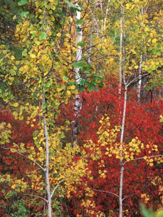 Autumn Trees, Custer State Park, South Dakota, USA