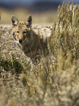 Coyote Hunting (Canis Latrans), Montana, USA