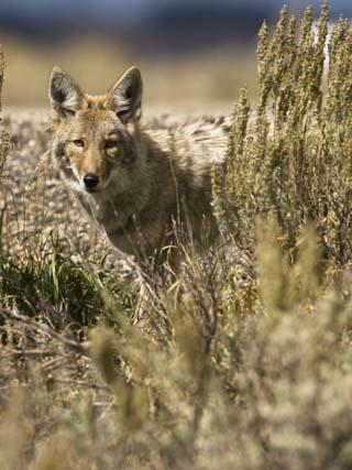 Coyote Hunting (Canis Latrans), Montana, USA