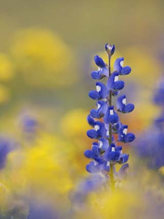 Texas Bluebonnet in Field of Wildflowers, Gonzales County, Texas