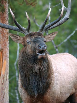 Bull Elk Bugling, Yellowstone National Park, Wyoming, Usa
