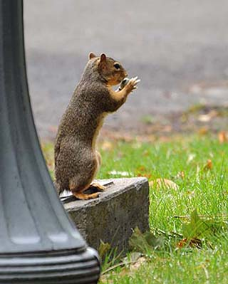 washington squirrel