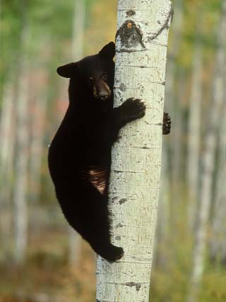 Black Bearursus Americanuscub Sat up Tree, Autumn Foliage