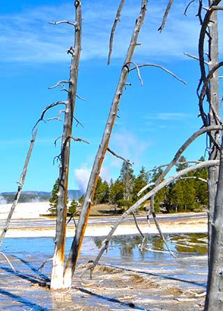 trees yellowstone