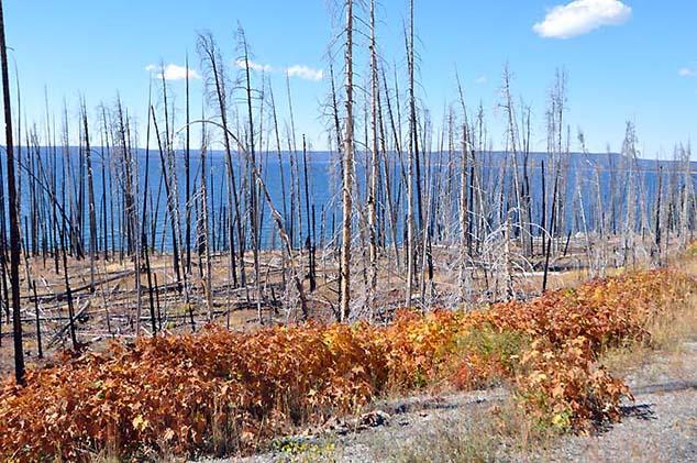 burnt trees yellowstone