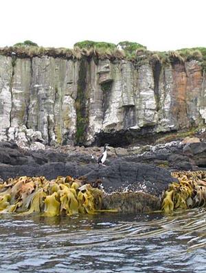 Enderby Island penguins